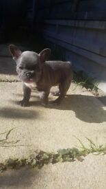 REDUCED! LAST ONE LEFT!! TEA CUP FRENCH BULLDOG Beautiful GIRL - £3,100