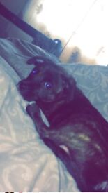 9 week old puppy for sale staff cross boxer