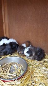 Baby guinea pigs for sale handled daily by children £20 for a pair of same sex