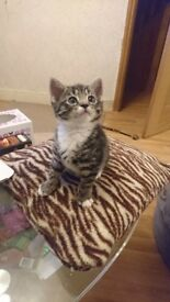 Gorgeous tabby boy is ready to meet his new, loving and caring forever family