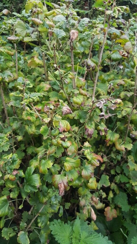 2 Gooseberry bushes for sale