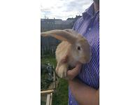 German giant rabbit