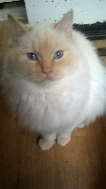 Blue Eyed Birman Flame Point Mature Boy Kitten Needs A Loving Forever Home Big Cat Indoor Only In Erdington West Midlands Gumtree