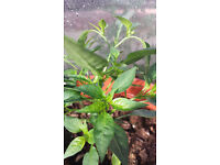 Chilli Pepper - Demon Red - Live young plant