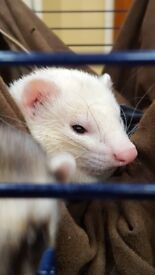 2 Ferrets in need of FOREVER home! (Cage, Toys Included)