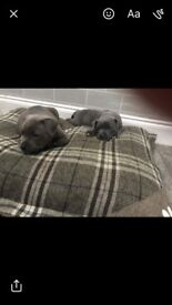 Puppy Blue Staffordshire terrior. 8 weeks old