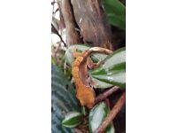 Baby / juvenile crested geckos