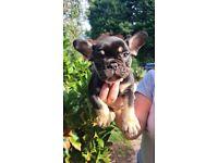 ****French Bulldog Puppies****