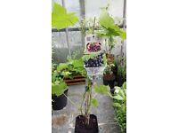 Outdoor grape vines