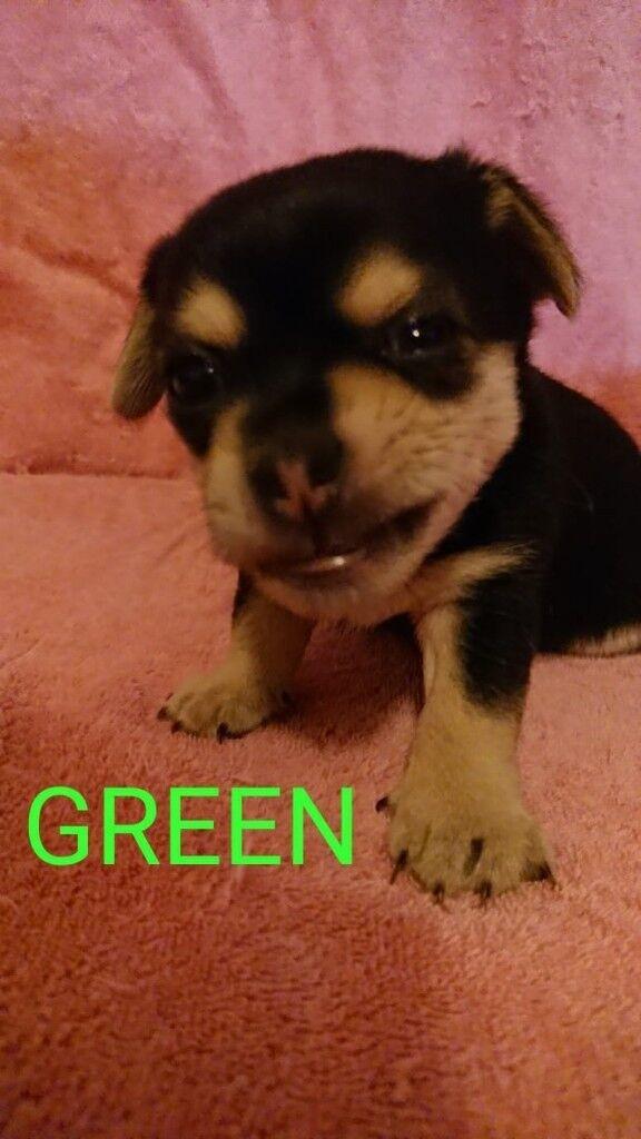 French bulldog X Chug puppies | in Hampstead, London | Gumtree