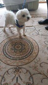 Male Maltese dog 16 months .