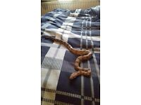 Hypo paslte snake