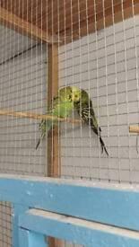 Exhibition budgerigar