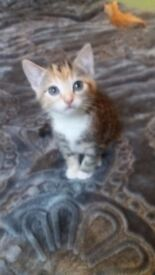 Female Tabby Kitten For Sale comes with bed & Litter Tray