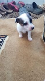 Jackrussell puppy for sale
