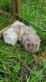 2 sow guinea pigs