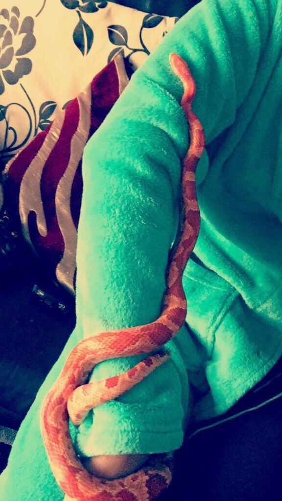 2year old corn snake for sale with all equipment