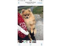 Little Pomeranian Boy