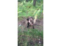 Springador puppy for sale