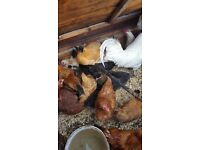 Silkie hens for sale (chickens)