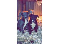 Beautiful bull x puppies for sale