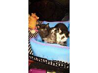 8 week old kittens.