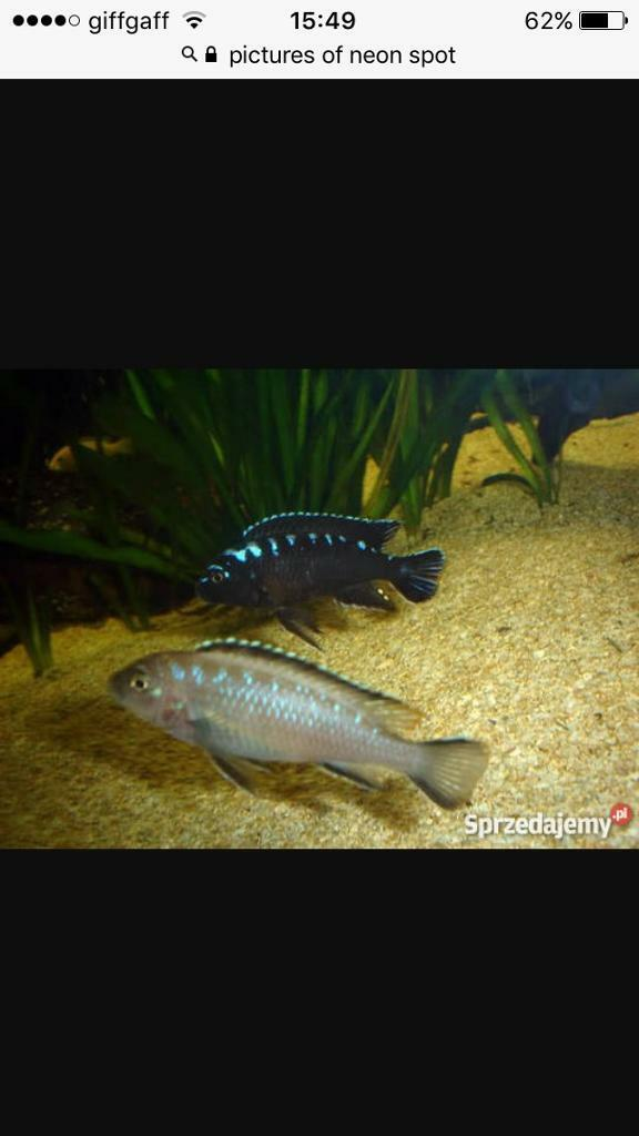 Cichlid Fry | Malawi Neon Spot Cichlid Fry For Sale In Chesterfield Derbyshire