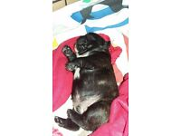 Two French bulldog puppies male and female