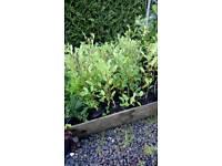 Grisslina Hedging plants