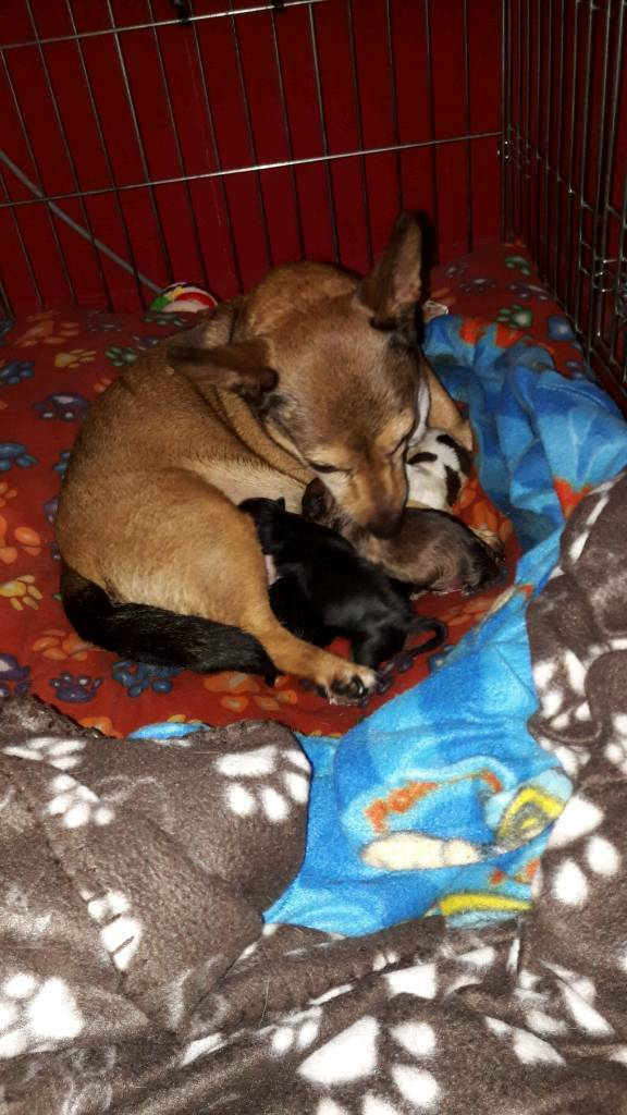 Jack russell puppys for sale