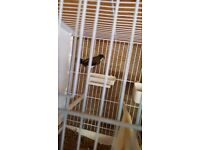 BENGALESE FINCHES FOR SALE