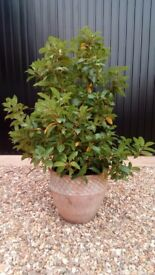 Mature bay tree in lovely pot