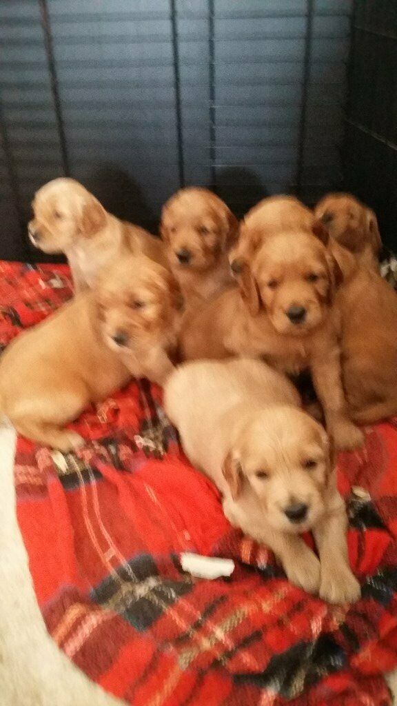RARE GOLDEN IRISH PUPPIES FOR SALE TO GOOD HOMES  4 BOYS AND 3 GIRLS | in  Bournemouth, Dorset | Gumtree