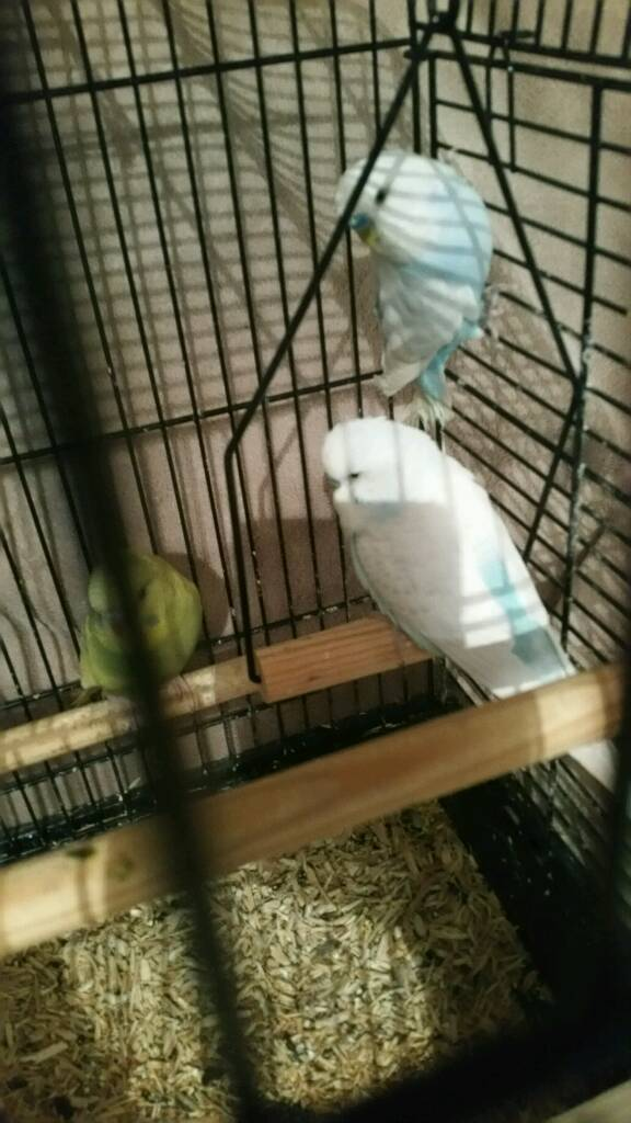 2 baby budgies and 1 cock budgie