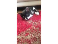 Missing Black & White cat since 04-01-2017 (DD-MM-YYYY) in Balham