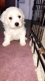 Bichon puppies for sale!!!