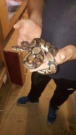 5 Royal Pythons