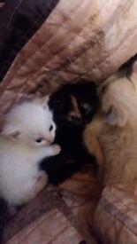 Two kittens left ragdoll cross long haired