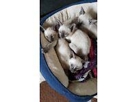 Siamese Choc/Blue Point Adorable Pedigree Kittens
