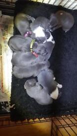 KC blue staff pupz