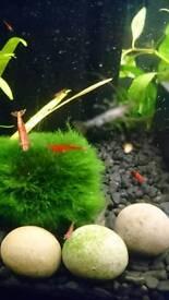 Cherry Shrimp.. Snowball Shrimp