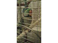 parrot alexandine