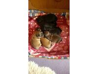Shih-Tzu x Yorkshire Terrier Puppies.