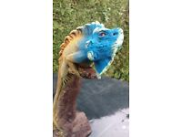 Reptile Blue Iguana carved in wood