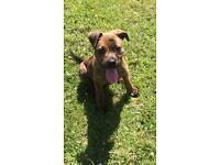 Staffy x mastiff pup 17 wks old fully trained
