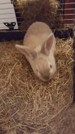 2.5 years old rabbit with xl cage and accessories - litter tray, water bottle, large bag of food.