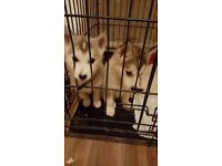 Male husky pups