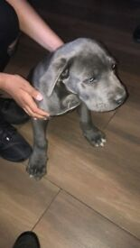 11 week old cane Corso for sale