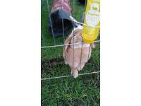 2 rabbits, 2 hutches and rabbit run
