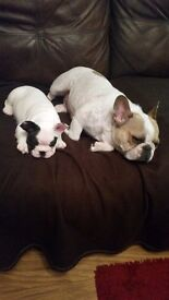 READY TODAY 2 French Bulldogs